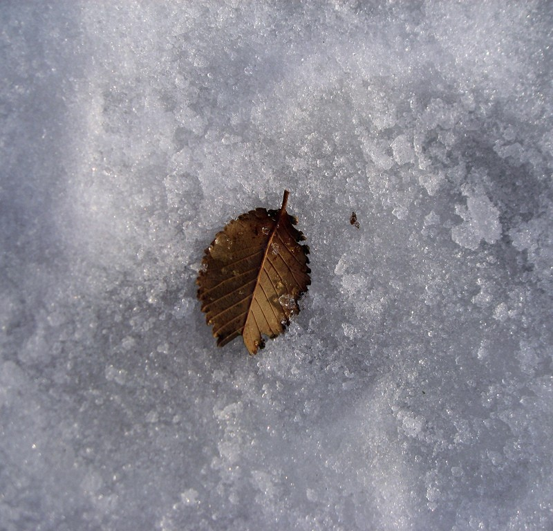 Very cold little leaf