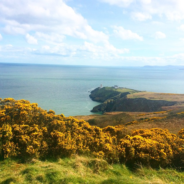 Great gorse