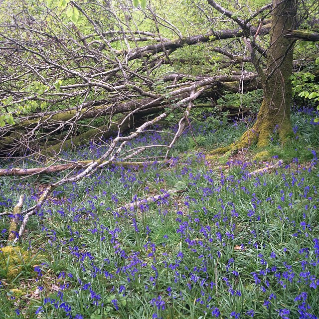 Bluebells in Ravensdale