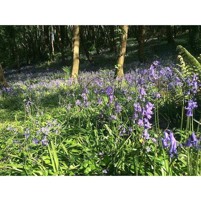 Bluebells in Courtmacsherry #blog