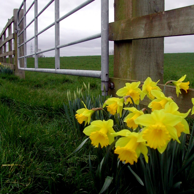 Donaghmore daffodils