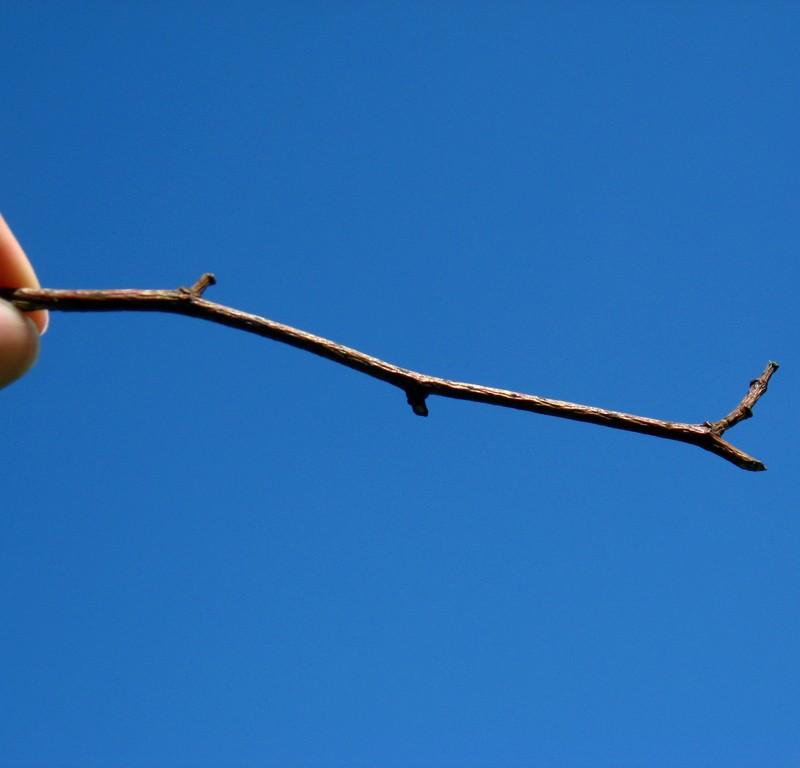Iveagh gardens twig