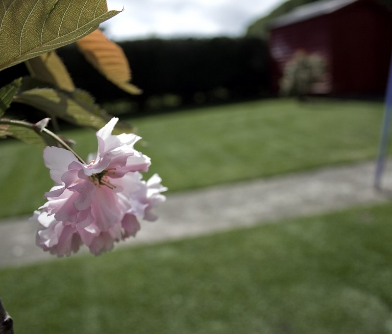 Cherry blossom dundalk